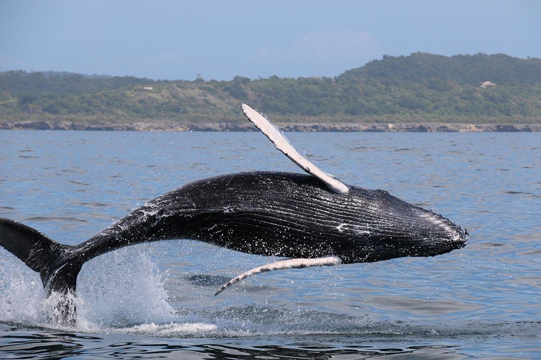 Baleines de Samana - Flora Tours